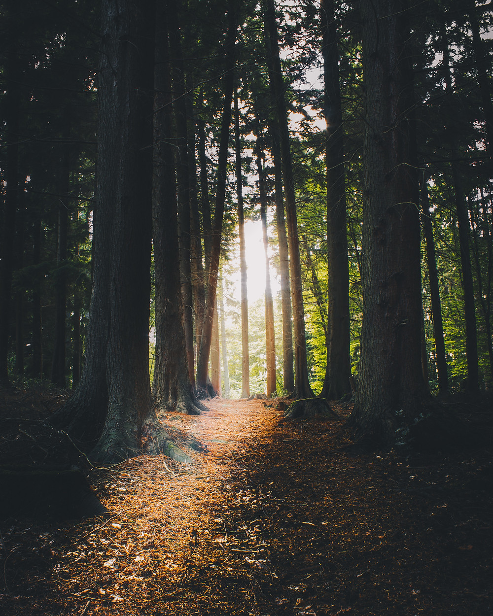 a picture of a path clearing in a forest with tall trees and sunlight leaking through