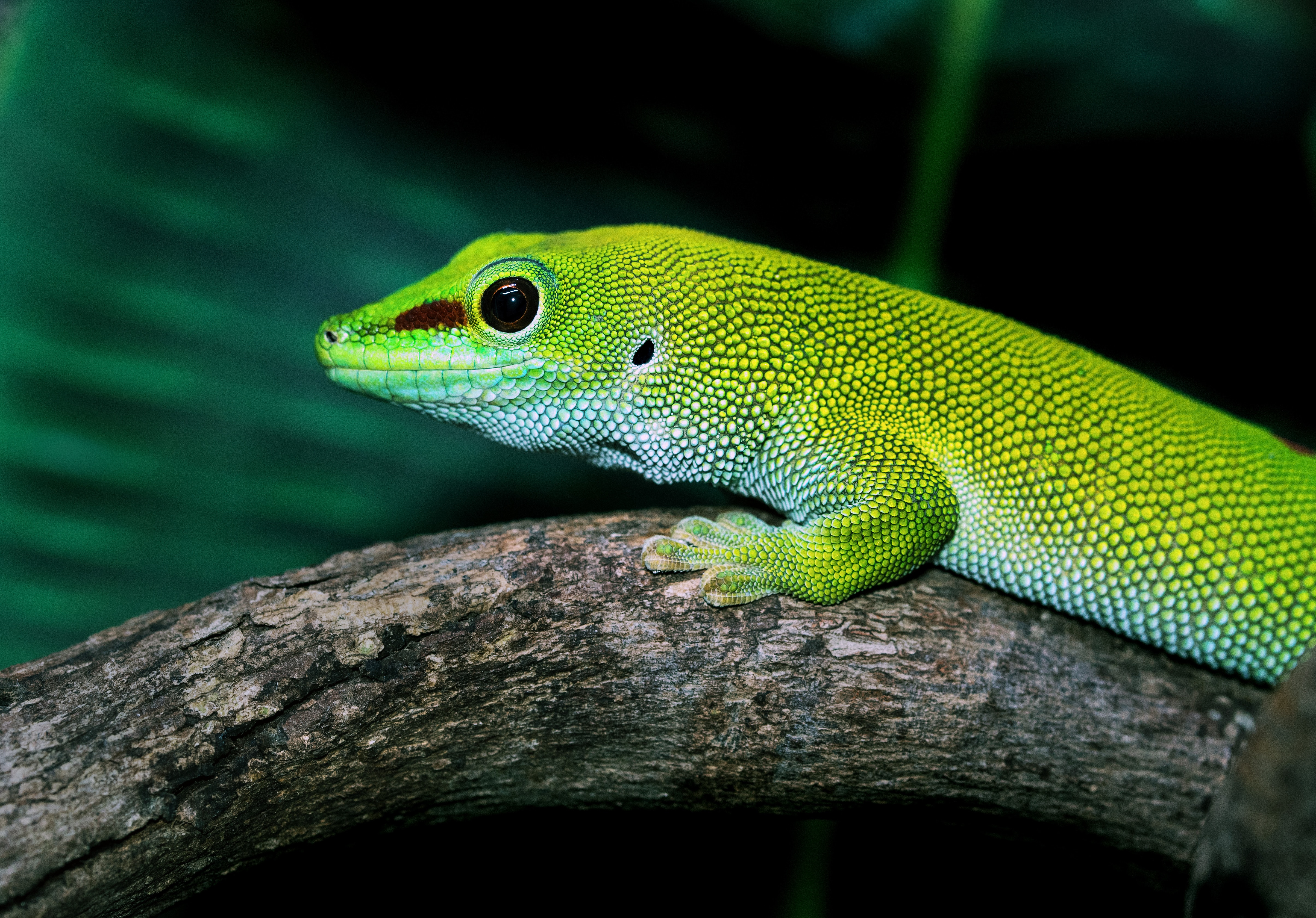 Madagascan Day Gecko