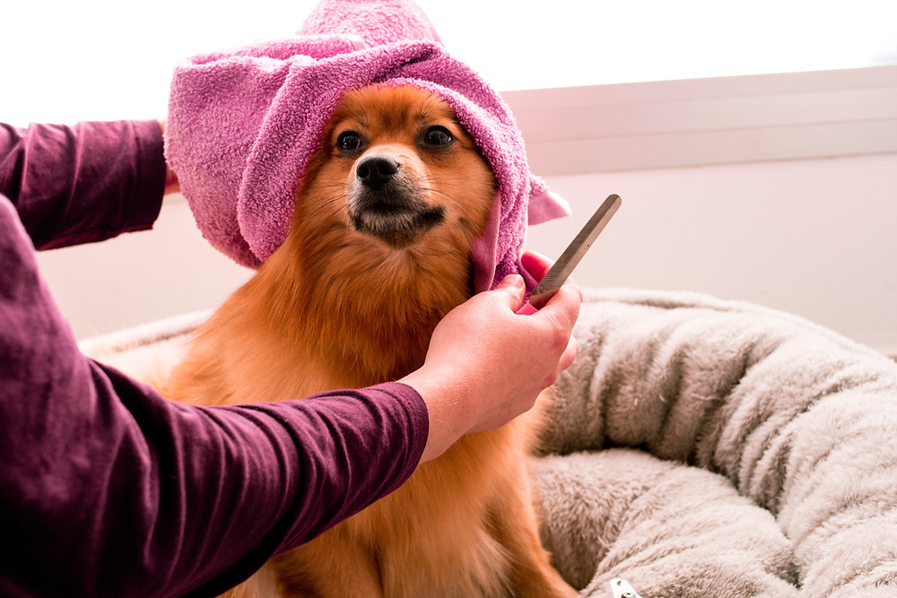 Many small dogs have double coats that need attention, too, such as this Pomeranian.