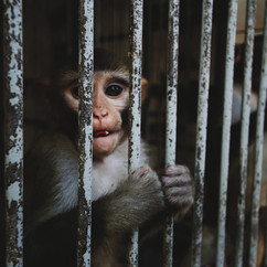 Macaques in zoos