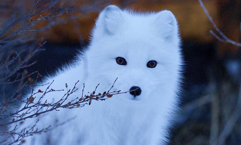 Arctic Wolves Add