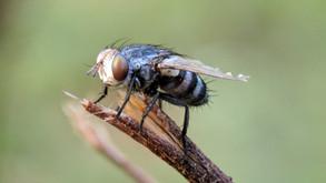 Bahaya Lalat Bagi Kesehatan