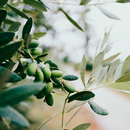 Healthy Life: Olives and Olive Oil