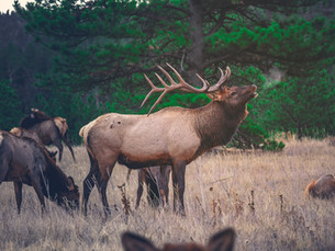 Sharpshooting debated as method to reduce Idaho elk numbers
