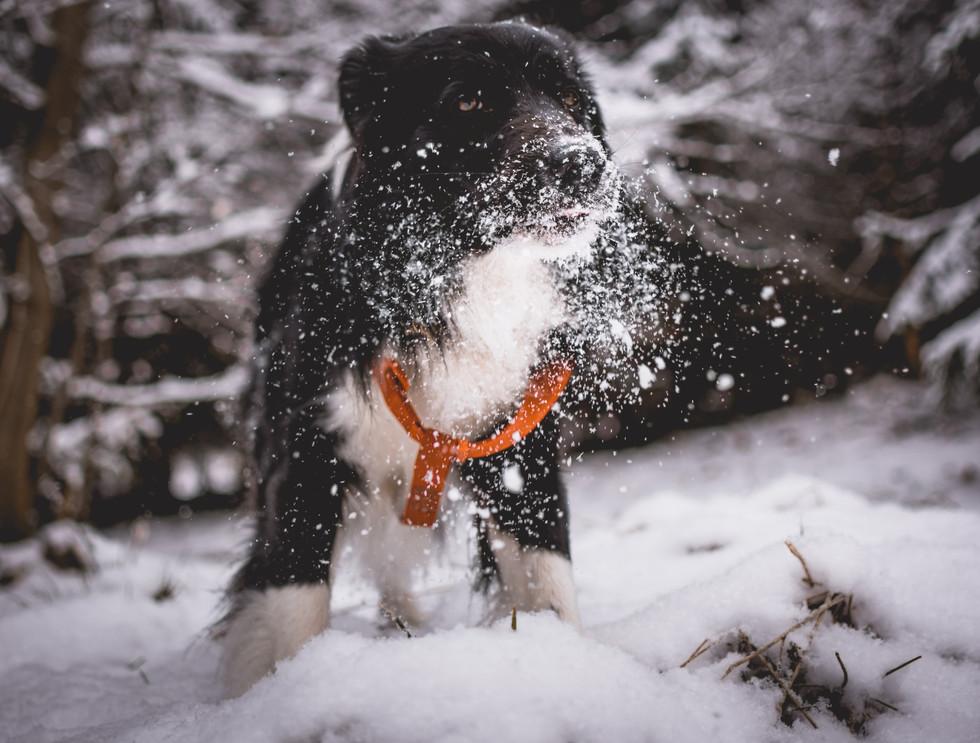 Dog in Snow - Ziggy's Pet Supplies