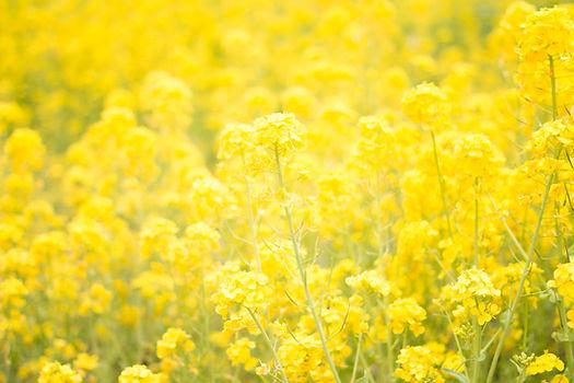 Image by TOMOKO UJI Yellow Flowers