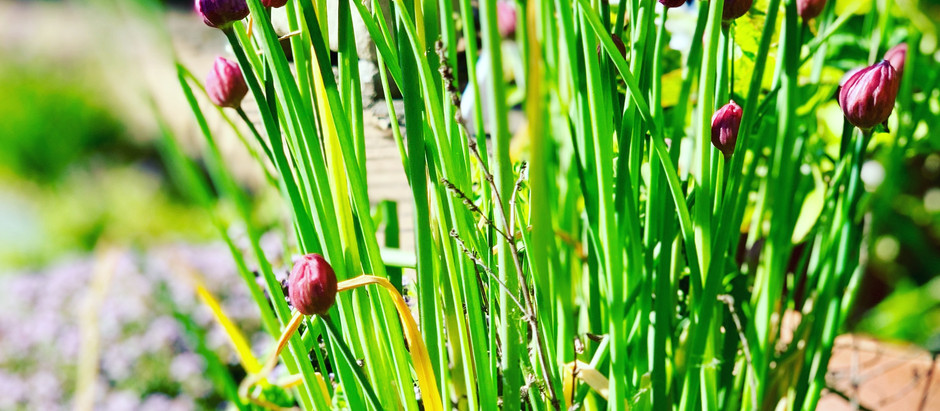 How to Grow Common Chives From Seed
