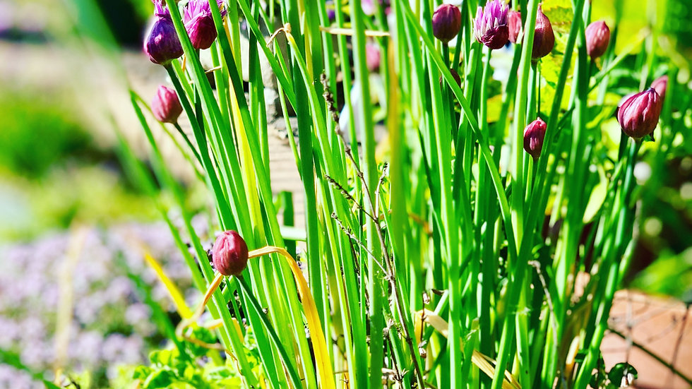 Chives Eco Pack
