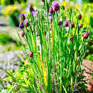 Sacred Plant Co Chives