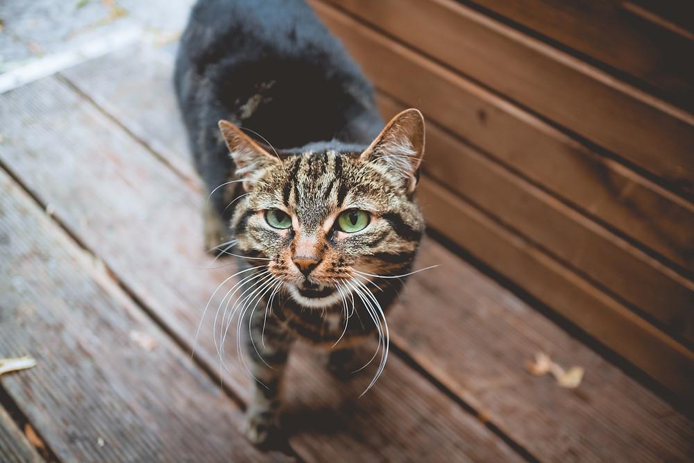 Katze faucht, knurrt oder grollt
