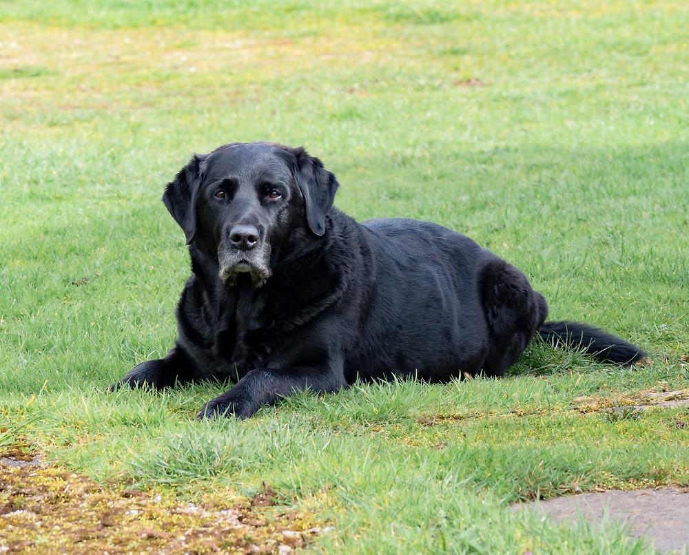 Senior Dog Chiropractic