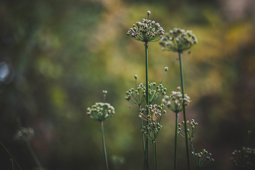 Sacred Plant Co Garlic Chives