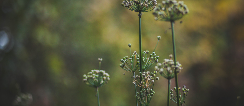 How to Grow Garlic Chives From Seed