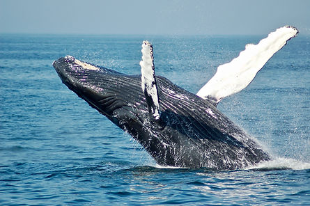 whalewatching day excursion coiba national park pacific coast pixvae the ark divers scuba lodge