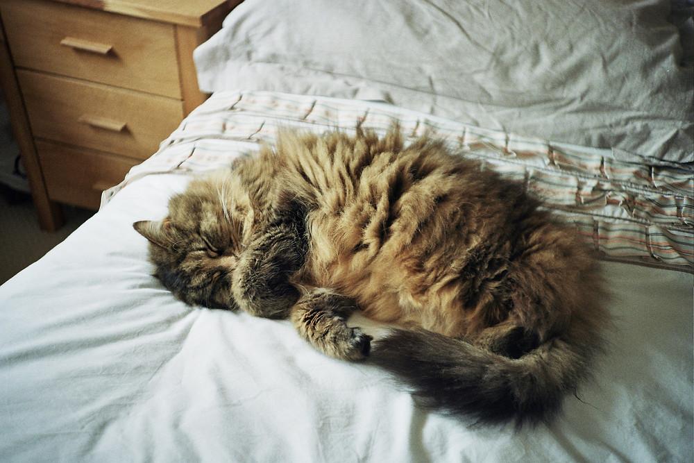 Cat sleeping on a bed - TassieCat