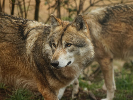 Will they howl no more?
