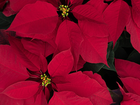 5 Ways To Make The Most Of Your Poinsettas
