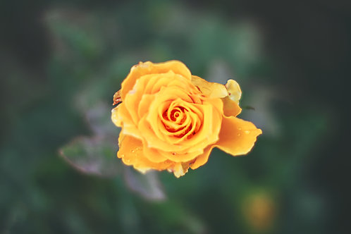 Yellow Roses (25 Stems)