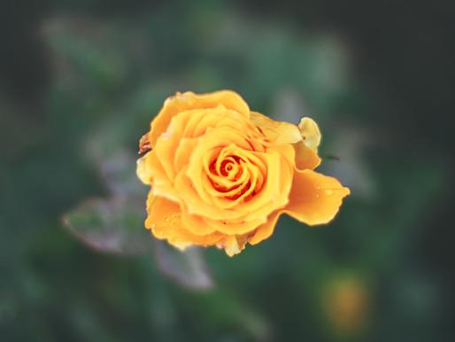 Rose Benefits