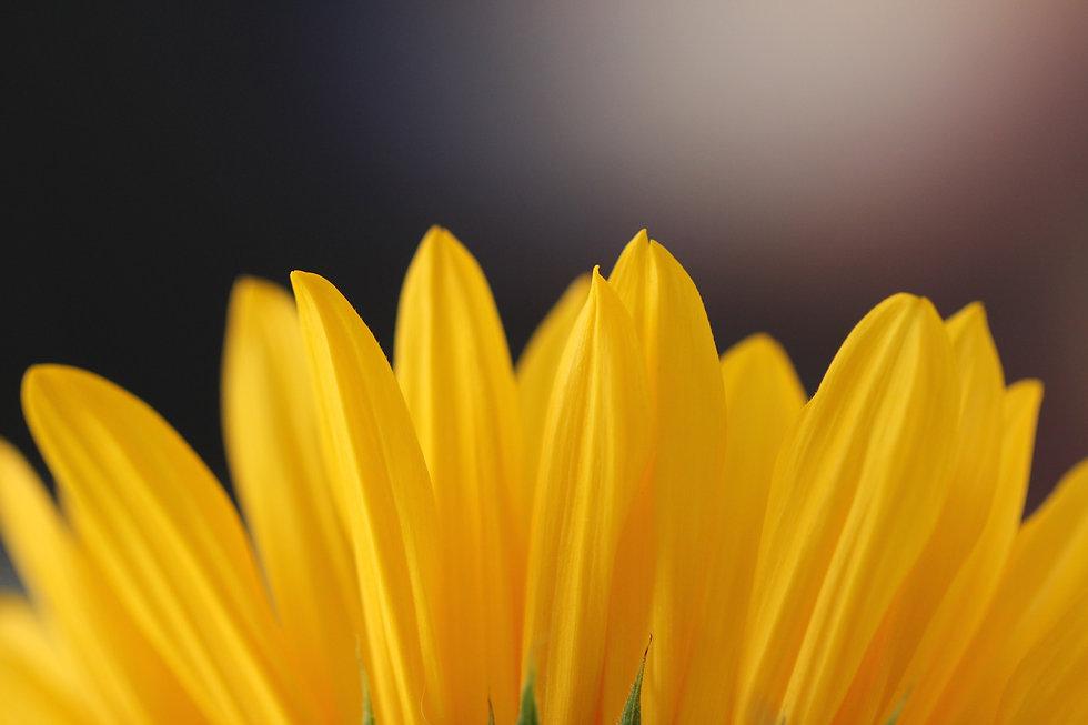 Close-iup of a Sunflower