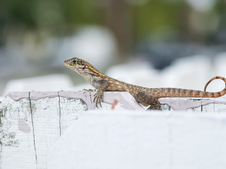 El lagarto Leiolepis ngovantrii