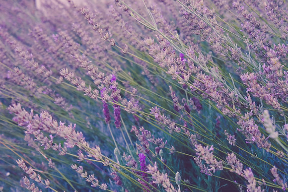 Lavender (Highland) 1800m