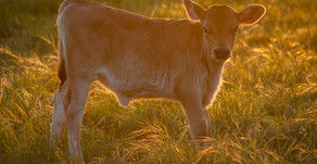 Calf Milk Replacers: Not all proteins are the same