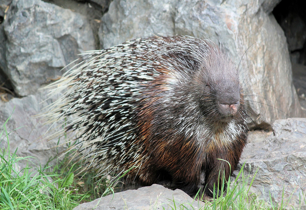 picture of a porcupine