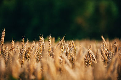 Wheat crops with blurred out background
