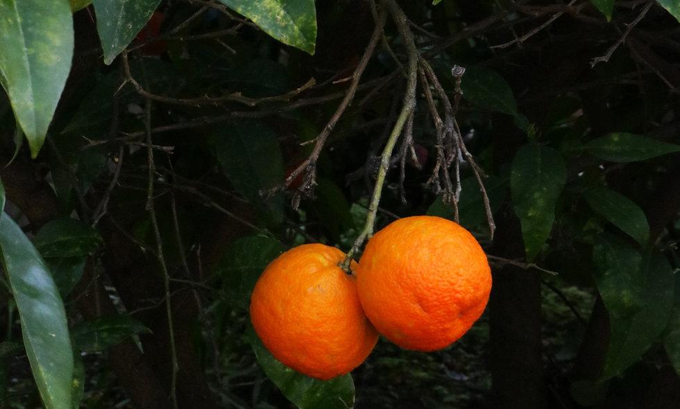 Sinaasappelblad  - biologische teelt - 75 gram