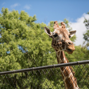Animalele dintr-o grădină zoologică, vaccinate anti-COVID