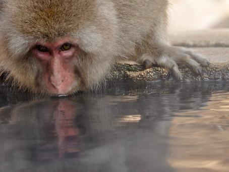 Le Macaca Fusata Laveur de Patates ou la Théorie du 100ème singe