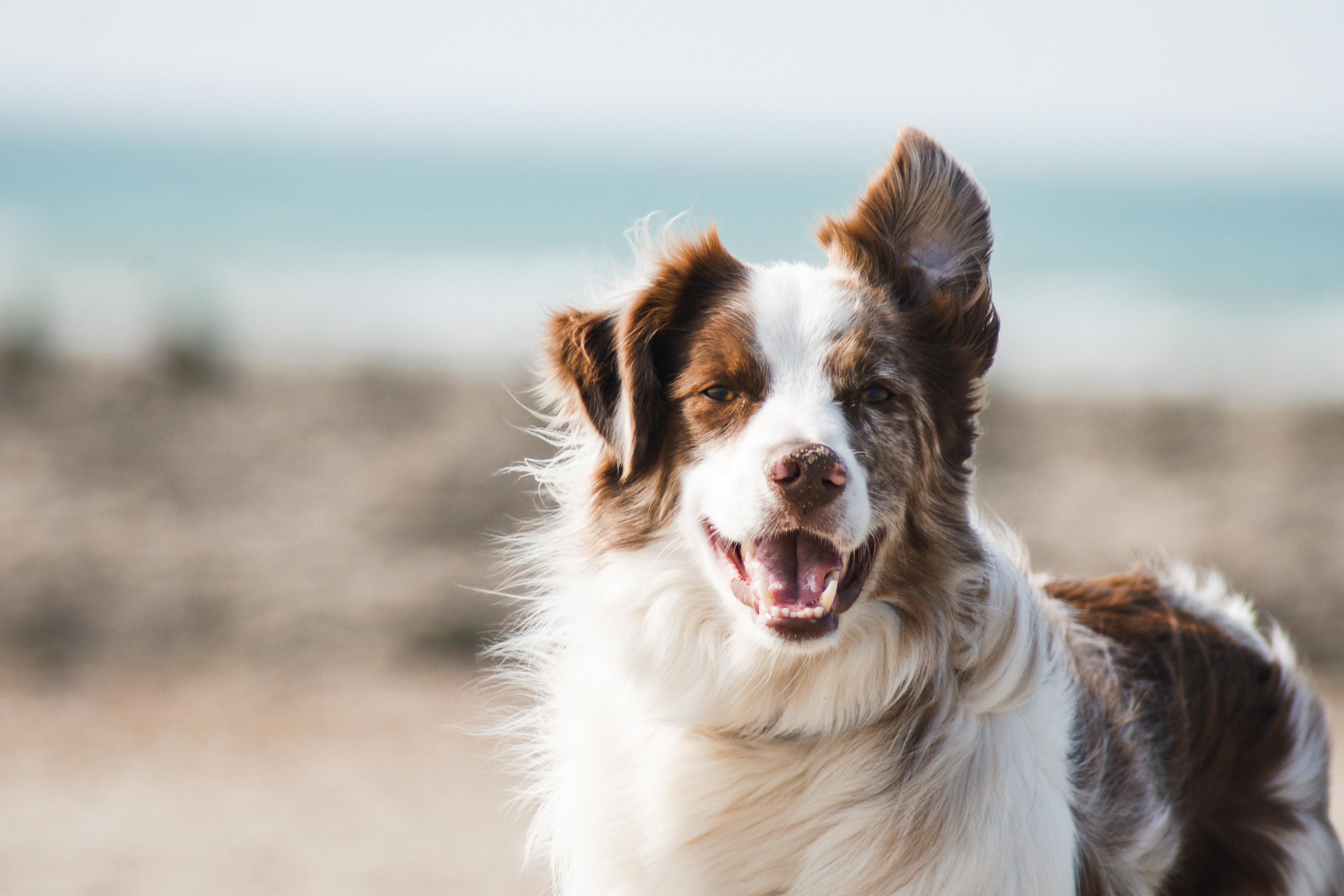 Dog Conformation