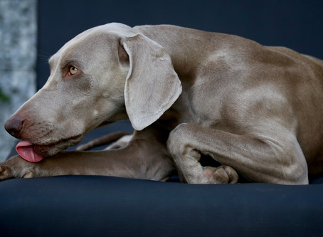 Chronic Pain Management in Cats & Dogs | Part 2 (Osteoarthritis)