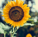 Image of sunflower by Bernard Hermant