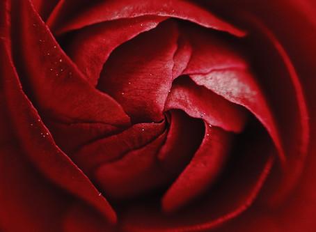 Février, mois de l'amour, mois de la Rose