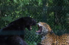 Most of remaining panthers in South Africa are in captivity.