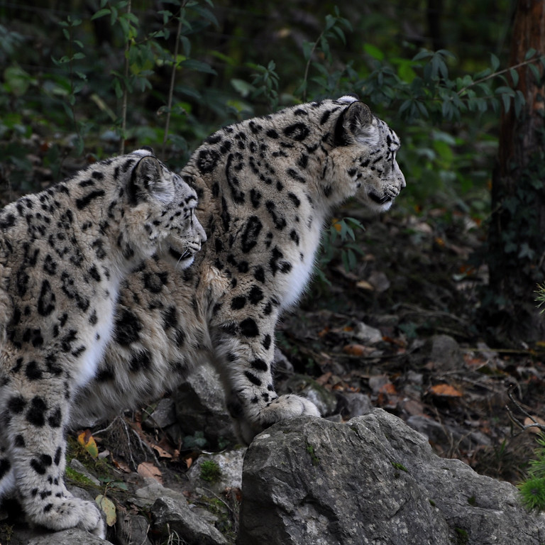 Snow Leopard Conservation & Protection