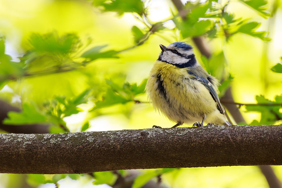Blue tit sitting on branch with bright green background