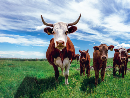Is it possible to reduce about 50% of GHG emissions in cattle production?