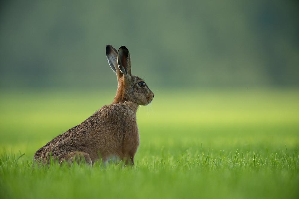 hare in field, listening intently