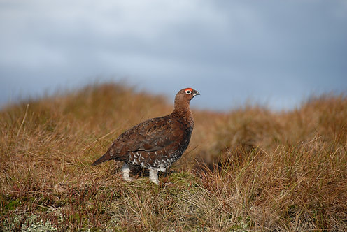 WILD YOUNG GROUSE