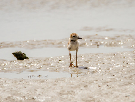 Why do the plovers fly away? - Chapter 8