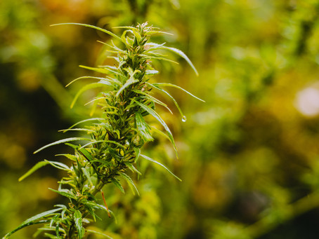 5 untrue myths about outdoor marijuana.