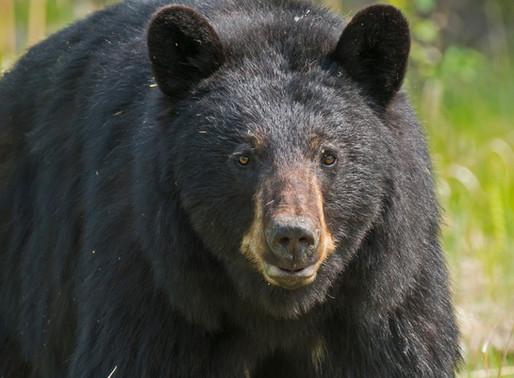 COVID-19 : Les ours noirs du Québec seront-ils les prochaines victimes ?