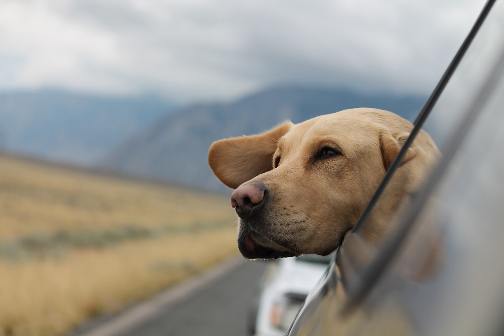 A dogs head, looking out a moving car's window, it's ear blowing in the wind. Mountains are in the background.