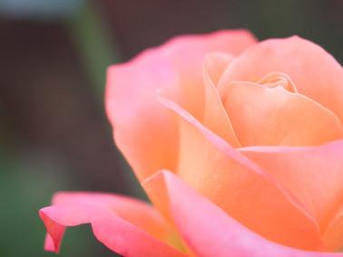 FICTION | Rosa