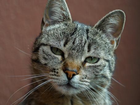 Penyebab dan Cara Mencegah Kucing Spraying pada Usia Kawin