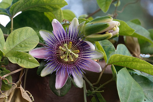 Passiflora - Bahama Blue