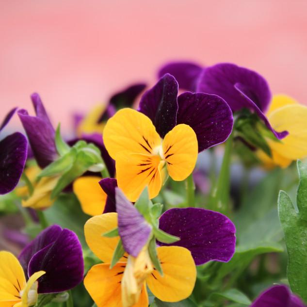 EXPLORE ANNUAL FLOWERS